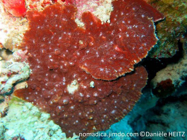 Corail, forme plaque mince encroûtante et lame , surface verruqueuse, disques oraux couleur blanche, vert ou rouge.