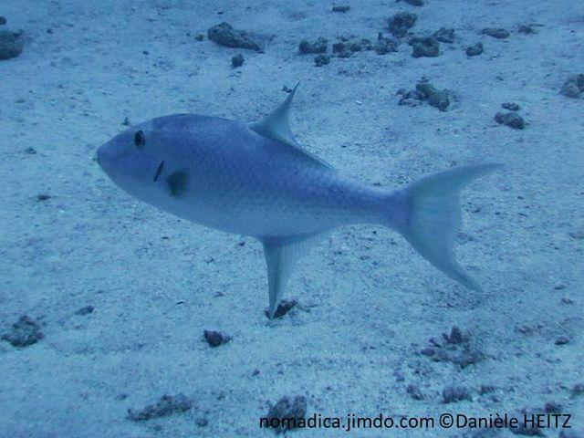 Poisson, corps ovale,  bleu grisâtre, nageoires dorsale et anale très en arrière