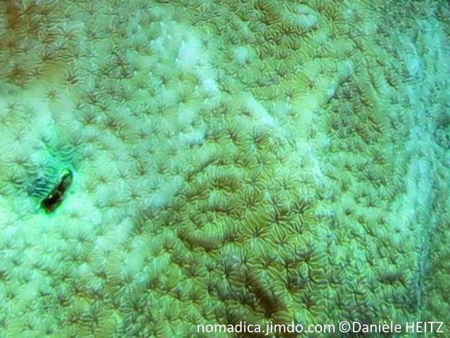 Corail massif, colonne ou lame, couleur brun grisâtre, verdâtre, corallites étoilées