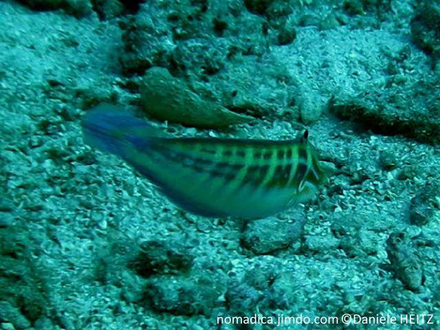 Poisson, bleu-vert, lignes horizontales orangées, dos, bandes verticlales verdâtres, queue bleue