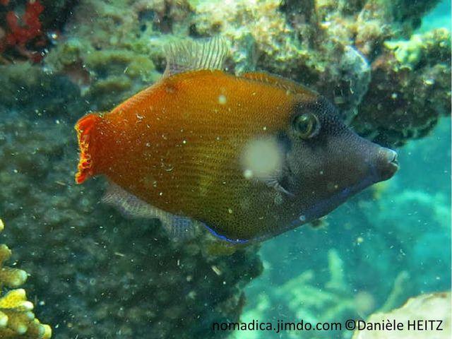 poisson, brun, bleu, sombre, queue orangée