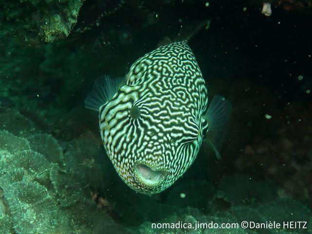 poisson forme ronde, beige grisâtre, motif de ligne et taches,  ligne en étoile autour de l'oeil,