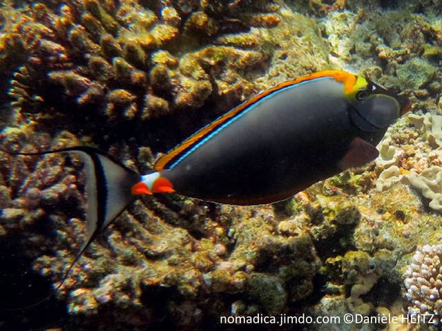 poisson, deux paires sclapels, oranges, tête, masque