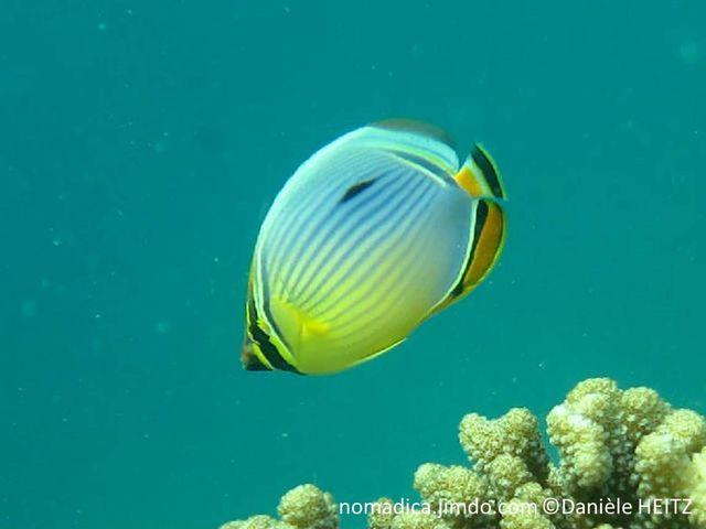 poisson, jaune, bleu, lignes horizontales