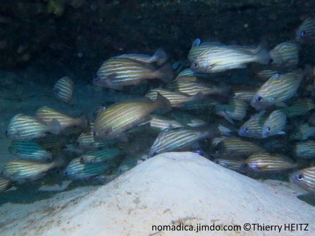 Poisson, blanchâtre, bandes horizontales brunes, nageoires brun foncé