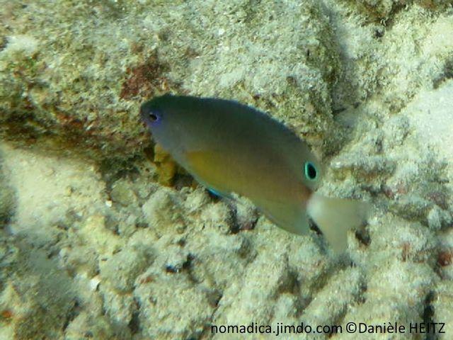 Poisson, dos gris bleuté, ventre jaunâtre,  arrière nageoire dorsale, ocelle noir cerclé bleu-vif, queue blanche