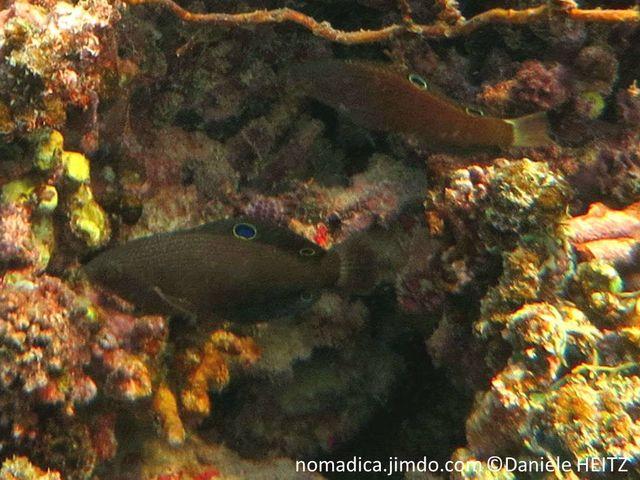 Poisson, allongé, brunâtre,  nageoire dorsale , milieu et terminaison,ocelles bleues,cerclés de jaune, nageoire anale, ocelle terminale