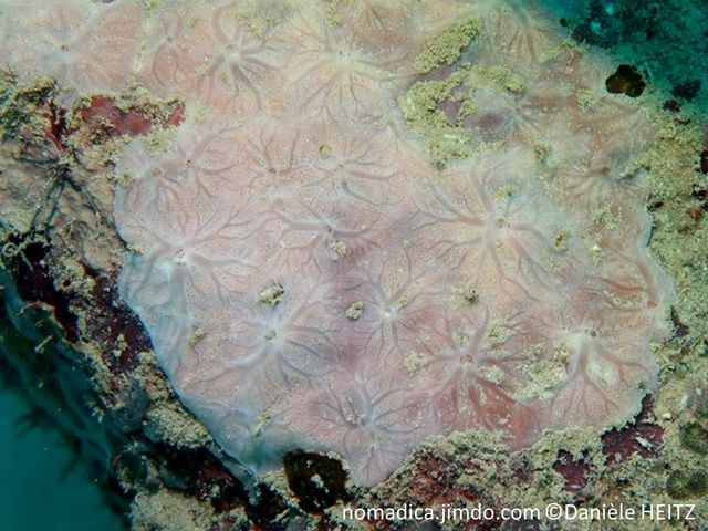 Eponge, encroûtante, jaune à orange pâle, oscules, réseaux de veines, pores inhalants visibles