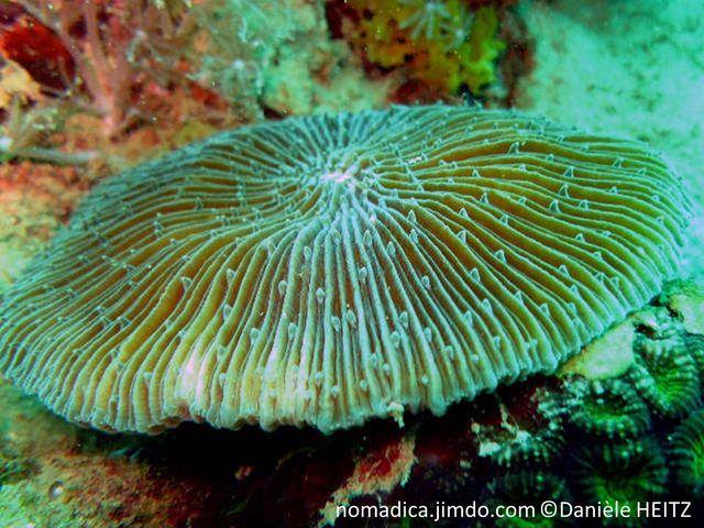 corail, dur, champignon