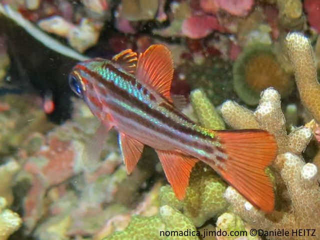 Poisson,bandes horizontales ocre rouge, nageoires rosées, oeil bleu électrique