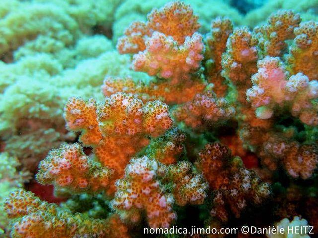 corail, dur, verrues