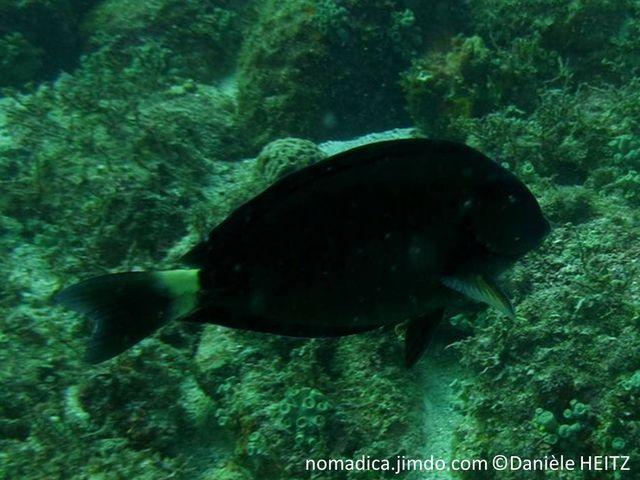 poisson, ovale, jaunâtre, grisâtre, brunâtre, nageoire caudale, marge en croissant bleue
