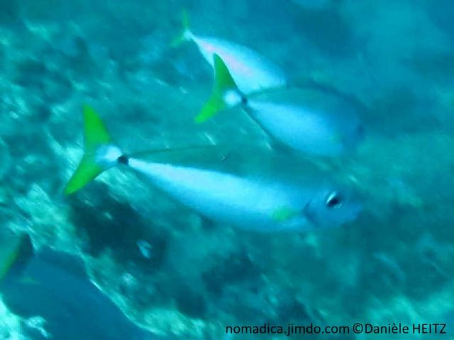 poisson, ovale, bicolore, gris bleuté, gris sombre , queue jaune, pédoncule caudale, barré, noir