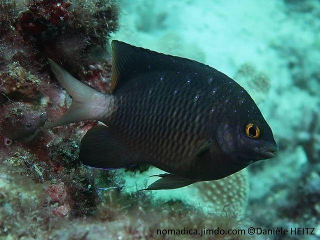 poisson,  brun-foncé, points bleus, joue, écailles mauves, yeux doré, queue blanche