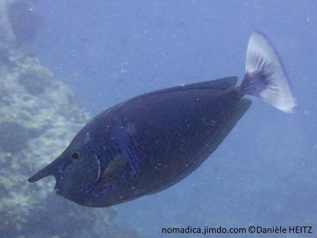poisson, corne, longue, barre verticale bleuté, points et traits sombre