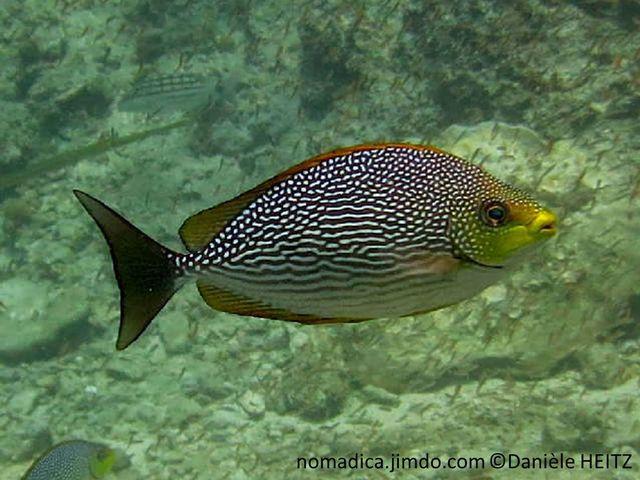 poisson, corps, bronze, points, lignes, tête, jaune