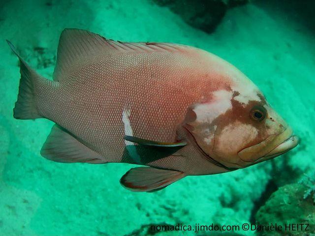 poisson, comprimée latéralement, brun-orangé-grisâtre, ventre,barre verticale blanche