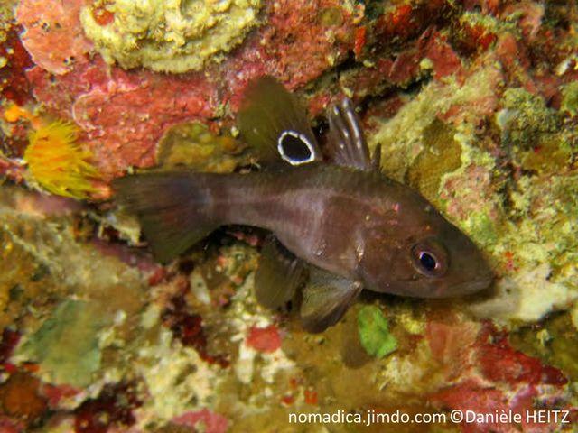 poisson, petit, trapu, gris, taches sombres, 2ème dorsale, ocelle noir, cerclé blanc