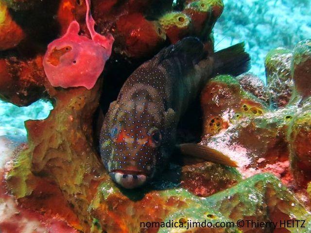 Poisson, allongé, rougeâtre ou marbré, points bleus, lèvres inférieures, 2 points noirs, pédoncule caudal, 2 points noirs