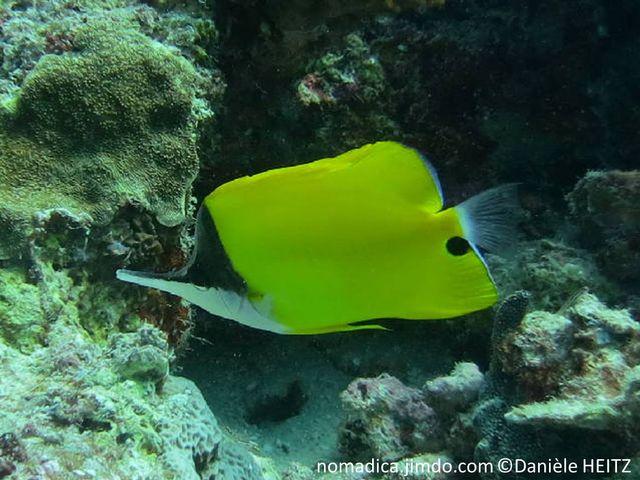 poisson, jaune, tête, tête noire, blanche