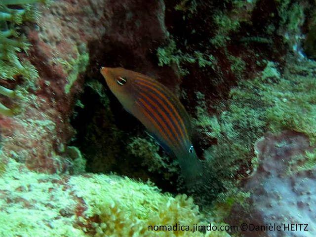poisson, violet, lignes oranges, pédoncule caudale, tache noire cerclée bleu électrique