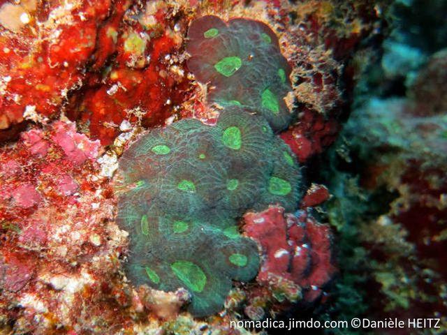 corail dur, encroûtant, corallites, murs épais, brun, centre vert