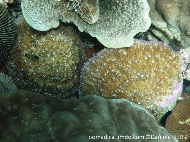 corail dur, non fixé, forme ovale, brun, taches blanches, bouche centrale
