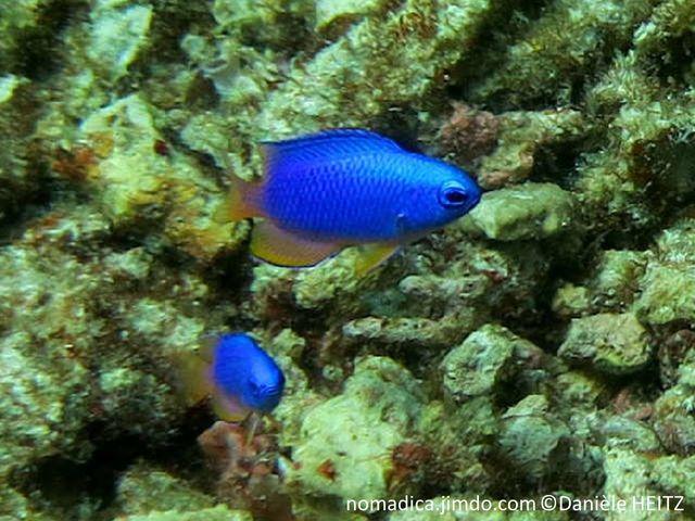 Poisson, bleu vif queue jaune, nageoire anale, pelviennes, caudale et arrière dorsale, jaunes