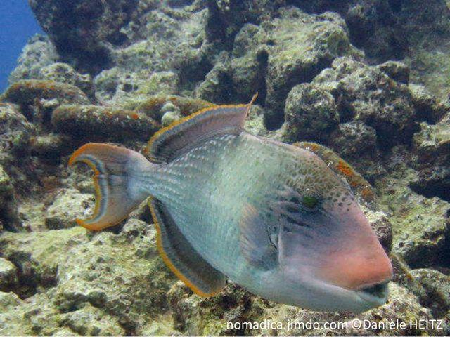 Poisson ovale, grisâtre, museau rose orangé, nageoires dorsale, anale et caudale, bordure orangée