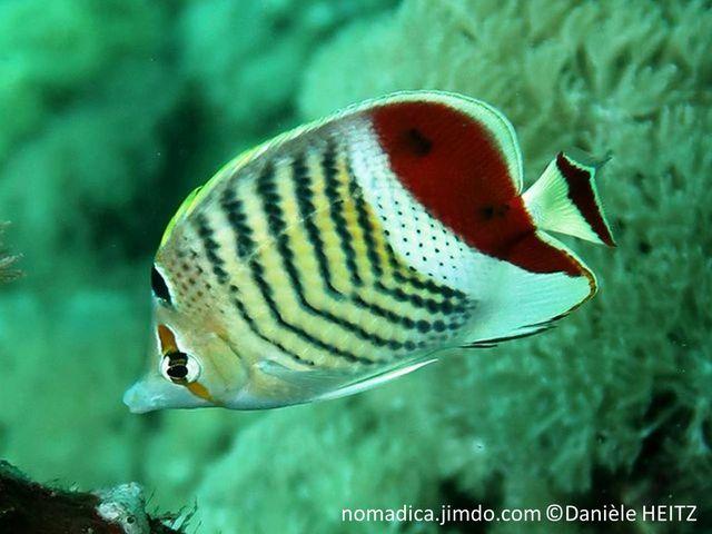 poisson,  beige, chevrons gris-foncé, arrière bande blanche et brun-rougeâtre, tête, bande verticale orangé, front tache noire