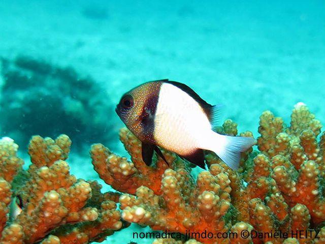 poisson, bicolore, tête brunâtre, bande verticale brun foncé, corps blanc