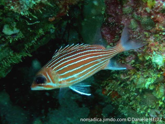 poisson, rouge rayé blanc, fin, tache noire avant nageoire dorsale, pointes blanches, 2 lignes horizontales blanches sous l'oeil