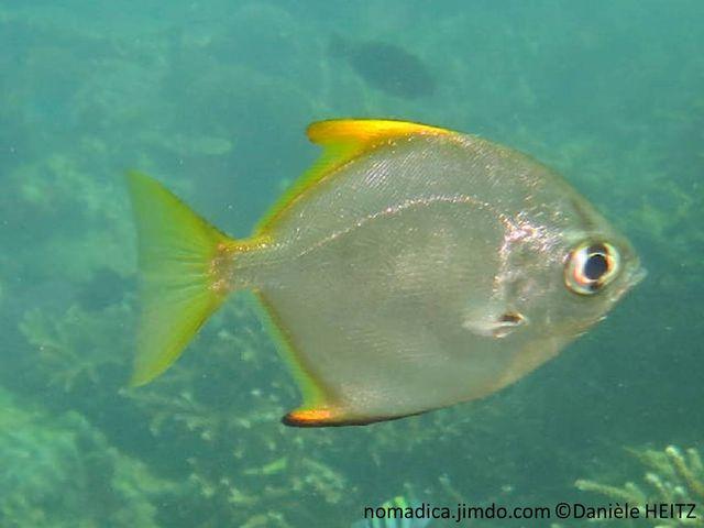 poisson, forme losange, argenté, brillant, nageoires jaunes
