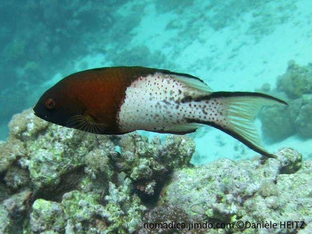 Poisson, bicolore, brun et blanc, petits points noirs, queue, lobes très long,  bordure, bandes noires