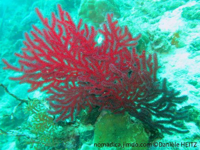 Gorgone, forme éventail, couleur variable rouge vif, orangé, jaune, blanc, branches, bouts arrondis, polypes aspect duveteux