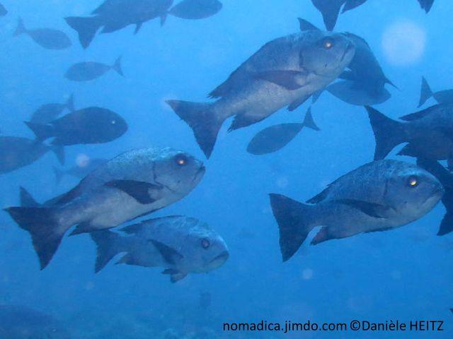 poisson, gris, noir