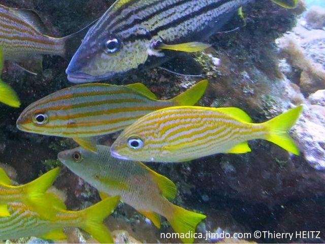 Poisson, ovale, argenté, dos, 3 lignes jaunes, flancs, lignes jaunes obliques ondulées, nageoires jaunes