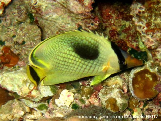 poisson, comprimé, jaune, quadrillage, tête, bande noire