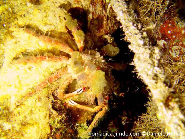Crabe, orangé, décoré organismes marins, pinces très fines