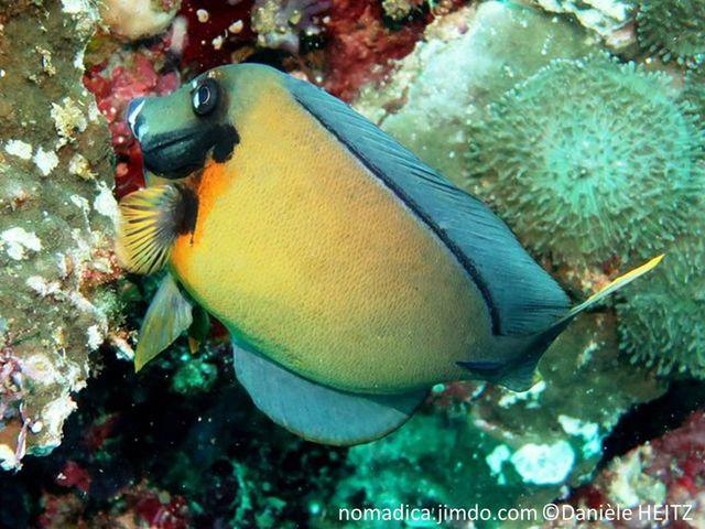 poisson, comprimé, ovale, couleur brun clair à foncé, opercule bordé de noir,  tache orange