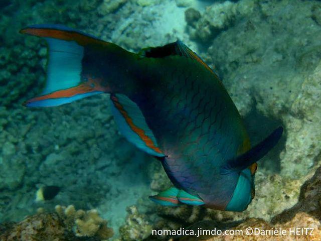 poisson, bleu-vert, museau, joues,  bleu clair, tête  jaune-orangée