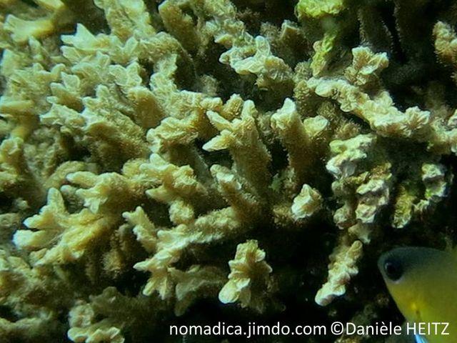 Corail dur, buisson, branches ramifiées, surface crêtes