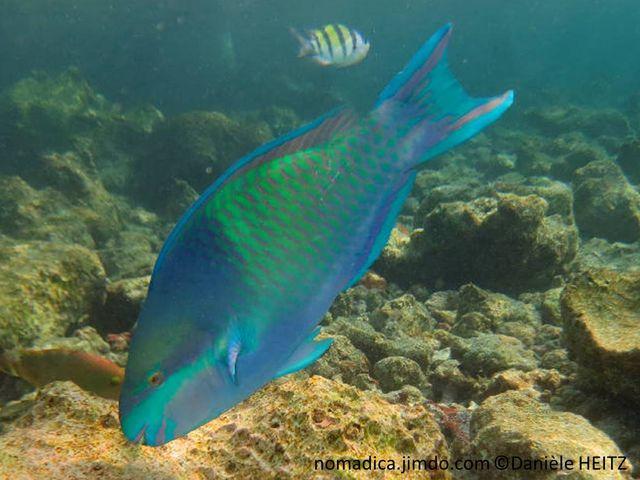 Poisson,  museau et avant du corps bleu-violacé, corps vert, écailles, marge rose,  bouche turquoise, gorge rose
