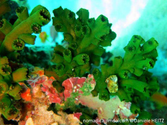 corail, dur, arborescent