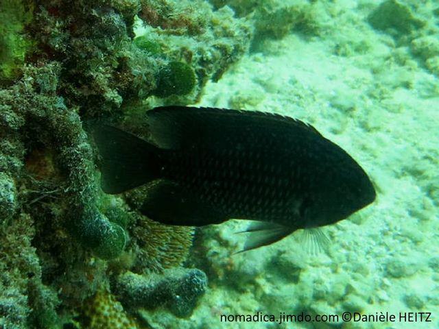 poisson, gris-foncé, grosses écailles, marge sombre, base pectorale, tache noire