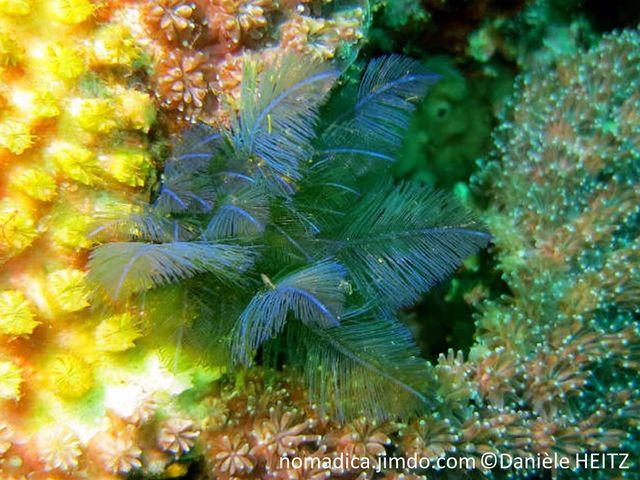 Algue, vert bleu iridescent, forme plume