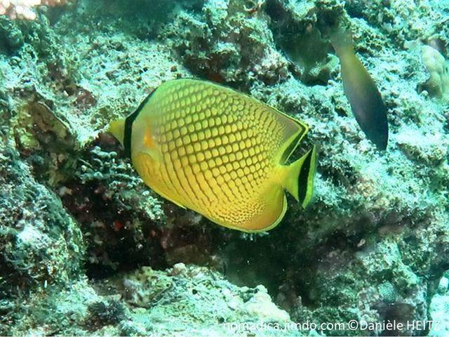 Poisson, comprimé, jaune, écailles contrastées, tête , bande noire, verticale sur l'oeil, queue, bande noire