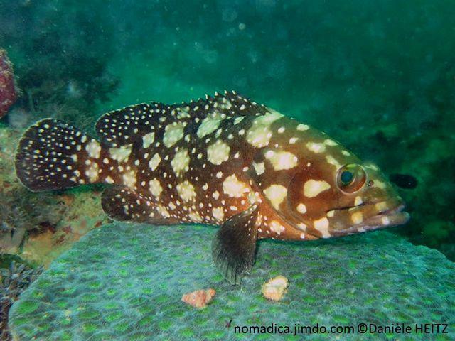 poisson, brun verdâtre, taches, beige, points blancs
