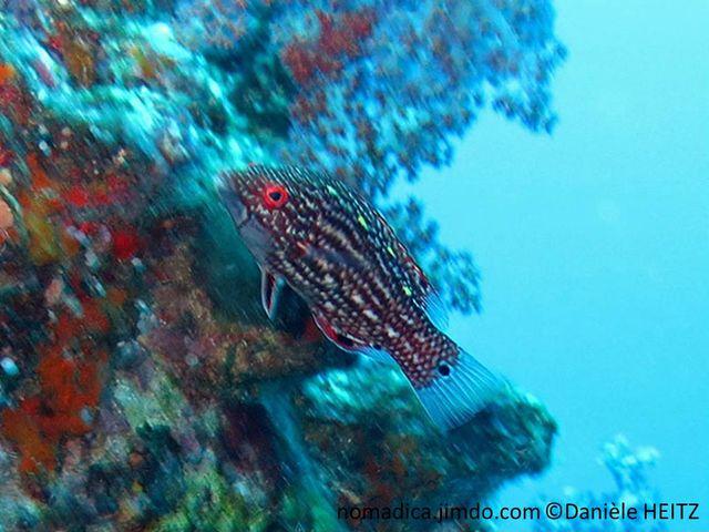 Poisson, corps brun rougeâtre, points blancs alignés,  nageoires 6 taches noires, queue tache noire