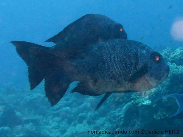 poisson gris, noir, juvénile, blanc, noir